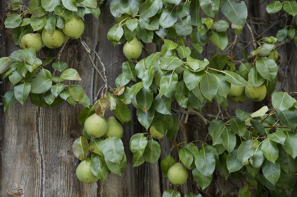 Pear, Pears, Wooden Wall, Farmhouse, Fruit, Fruits