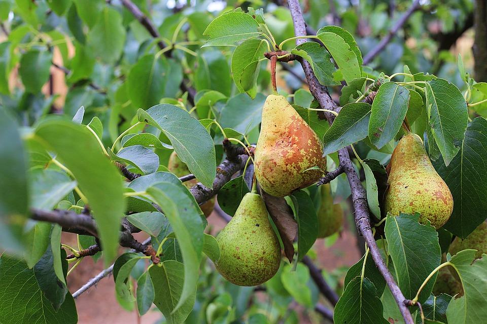 Pears, Garden, Vegetable Garden, Ukraine, Melitopol