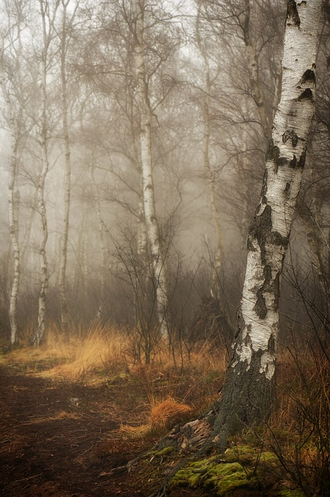 Moor, Peat, Forest, Birch, Birch Forest, Tribe, Fog