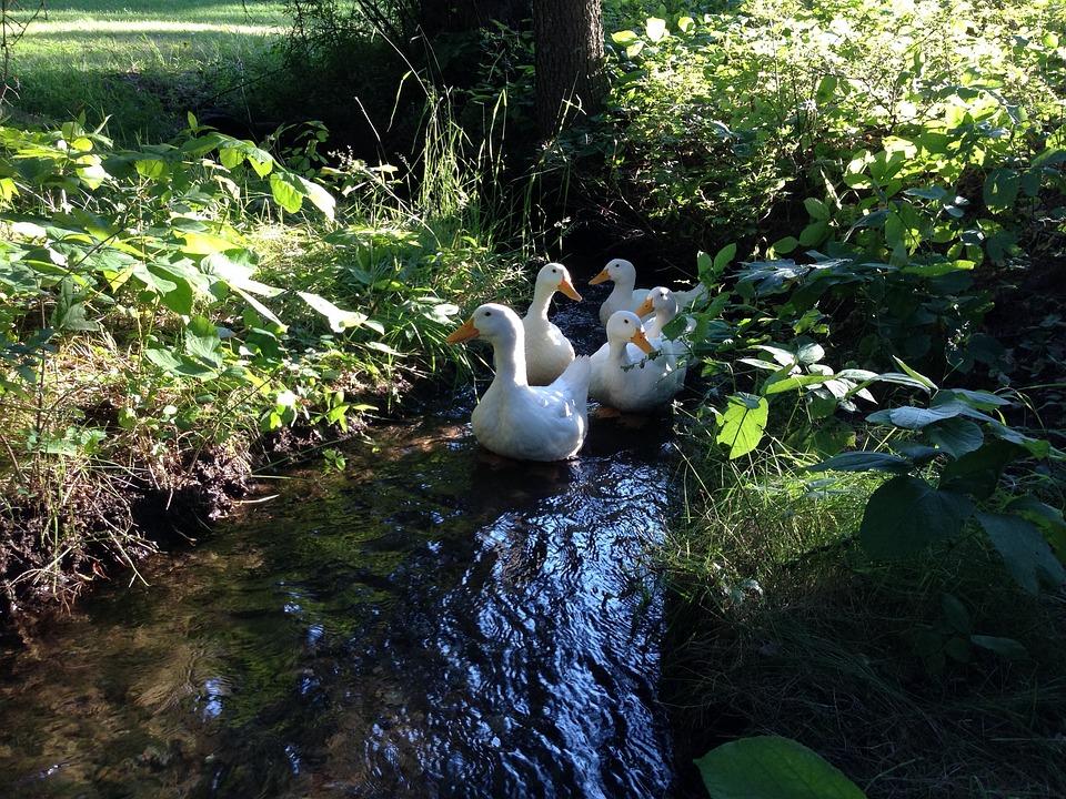 Peking Ducks, Ducks, Poultry, White, Food