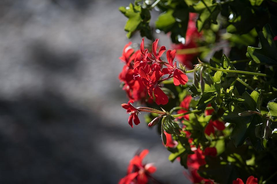 Geranium, Pelargoniums, Pelargonium, Geraniaceae, Red