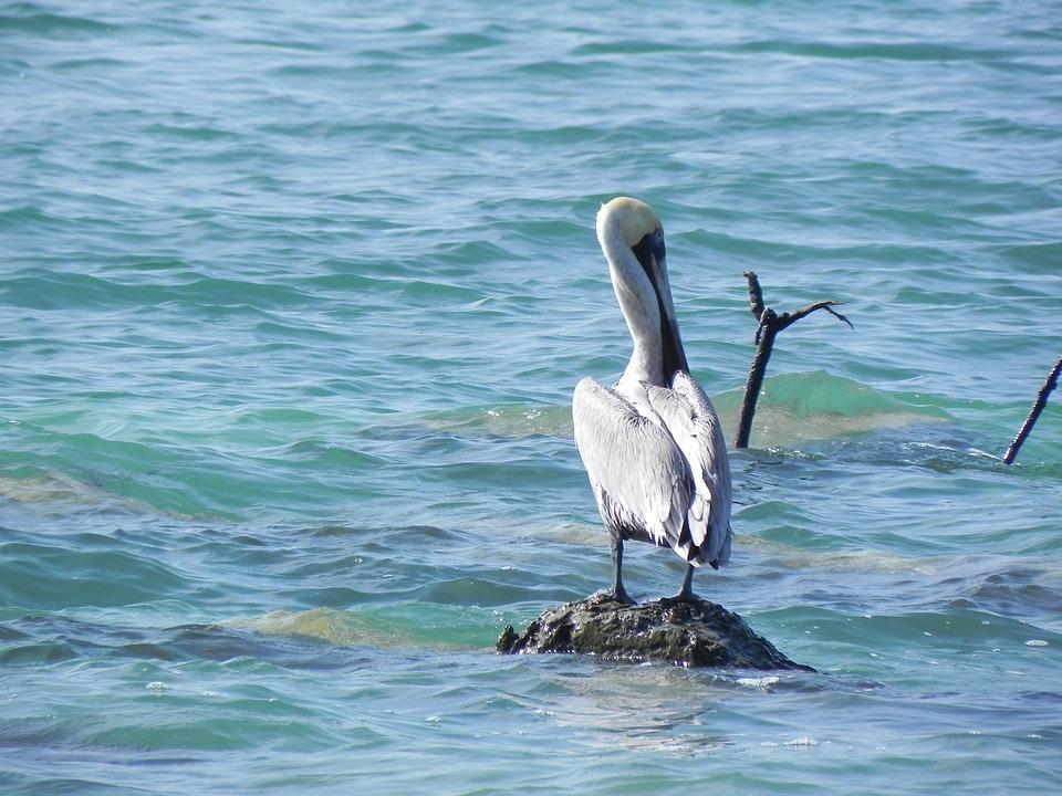Animals, Pelican, Rock