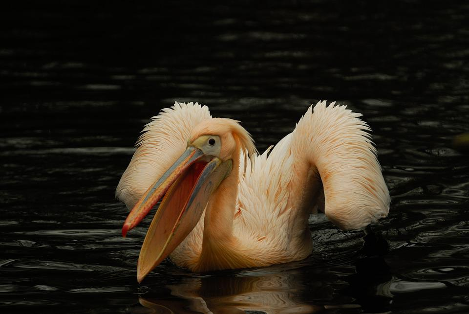 Artis, Pelican, Bird