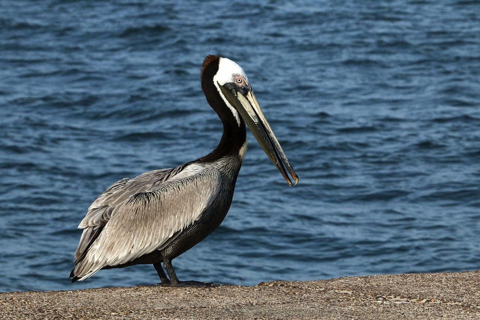 Brown Pelican, Bird, Nature, Wildlife, Pelican, Water