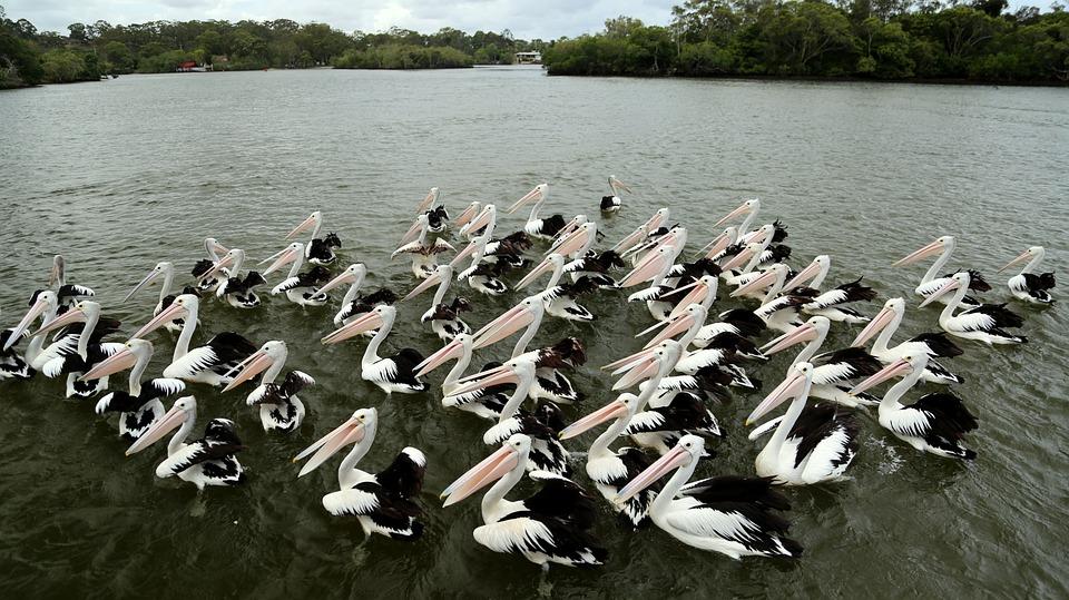 Pelican, Bird, Neat