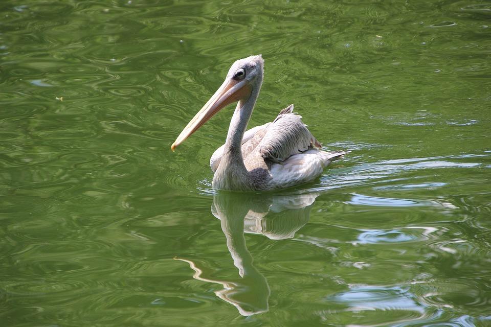 Pelican, Water Bird, Aquatic Bird, Bird, Waterfowl