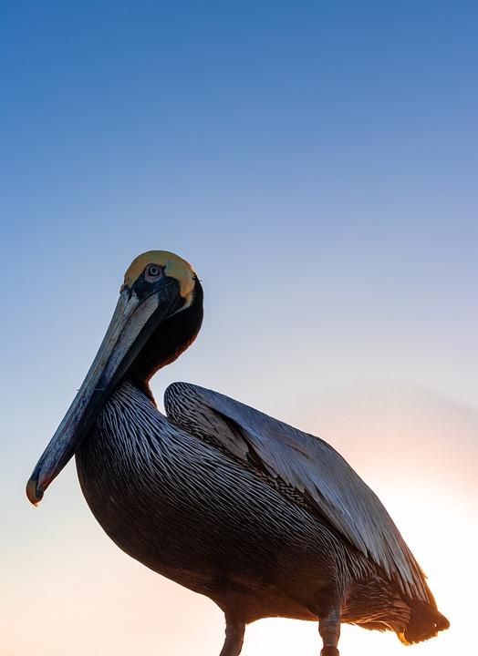 Bird, 80d, Canon, Sunset, Pelican, Florida, Wildlife