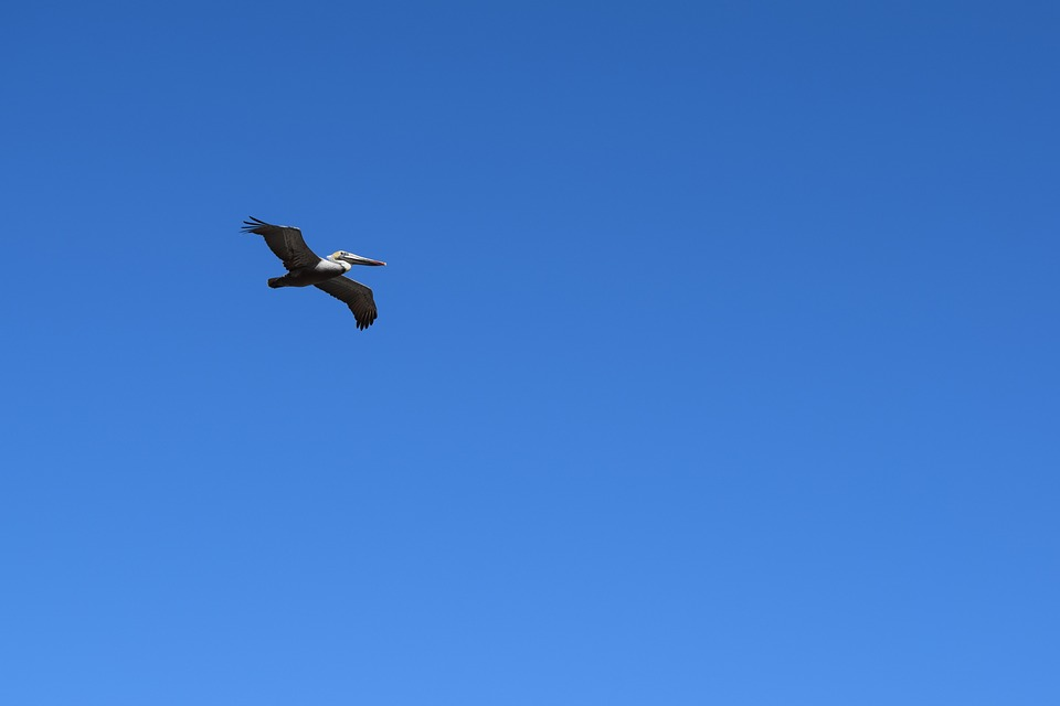Pelican, Flying, Bird, Wildlife, Seabird