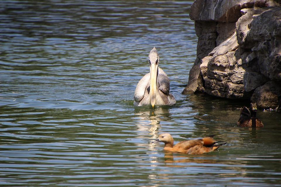 Pelican, Mallard, Water Bird, Aquatic Bird, Bird