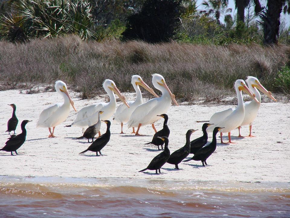 Birds, Cormorant, White, Pelican, Wildlife