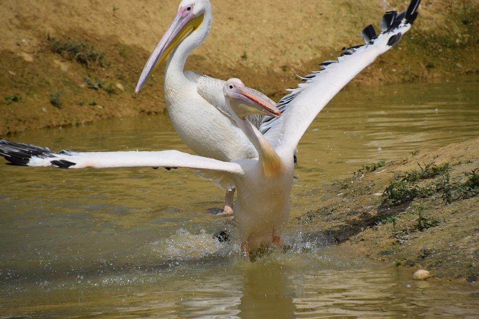 Pelican, Water, White