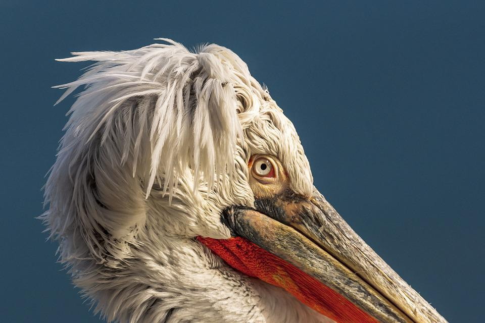 Pelicans, Birds, Flights, Pelican, Nature, Wildlife