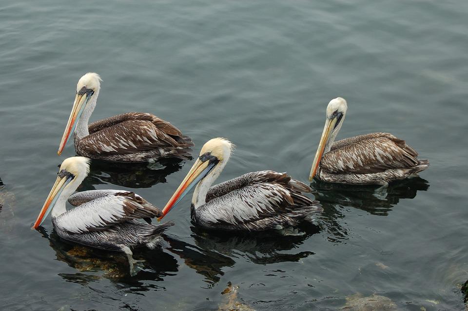 Pelicans, Chile