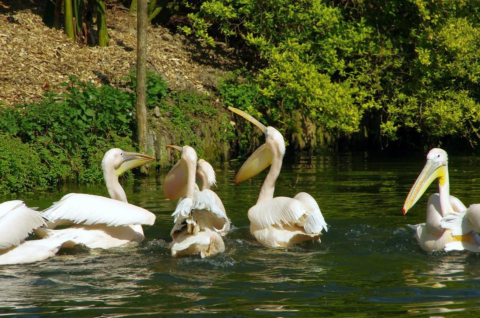 Pelicans, Zoo Lille, Pelecanidae, Bird, Scale, Wings