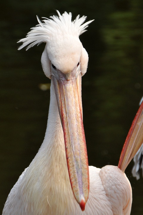 Pelikan, Bird, Sea Birds, Animal