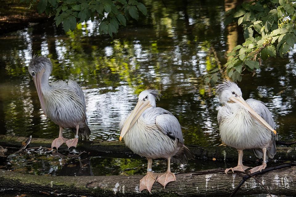 Pelikan, Bird, Animal, Animal World, Water Bird, Bill