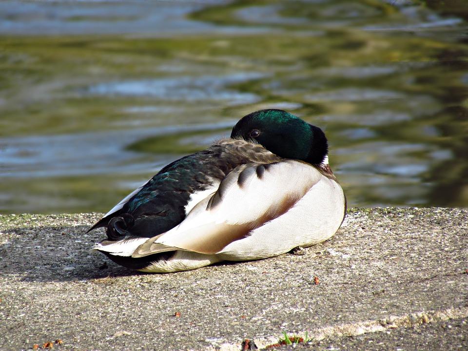 Nature, Birds, Pen, Duck