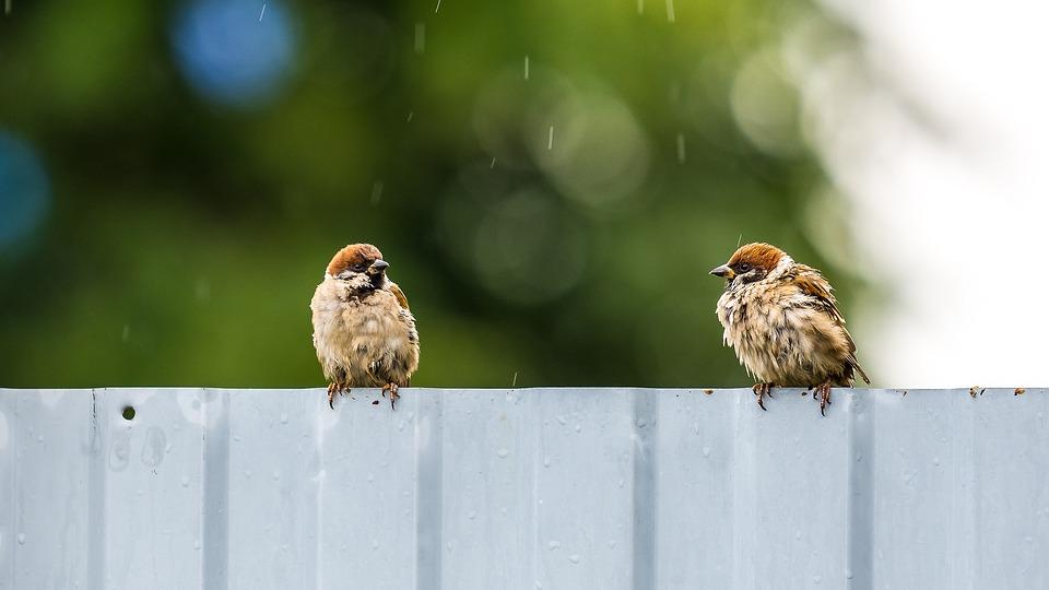 Birds, Sparrow, Plumage, Animals, Nature, Pen, Garden