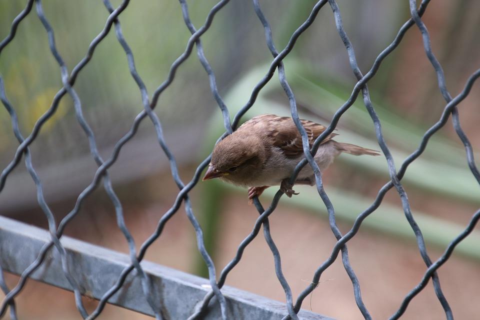 Sparrow, Birds, Animals, Perched, Spring, Pen, Cute