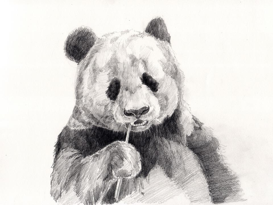 Panda, Drawing, Pencil Drawing