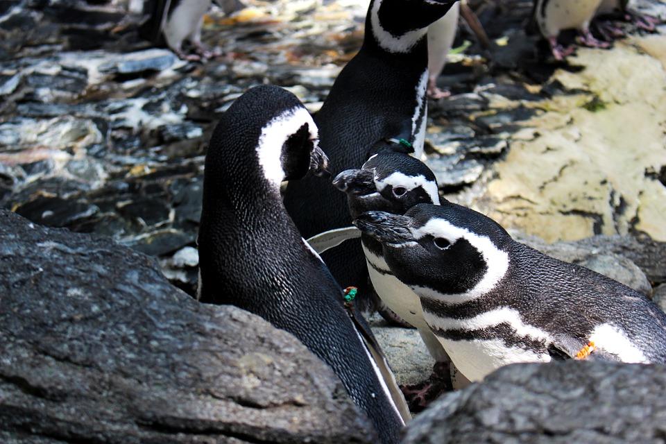 Animals, Penguin, Bird, Antarctic, Couple, Cute
