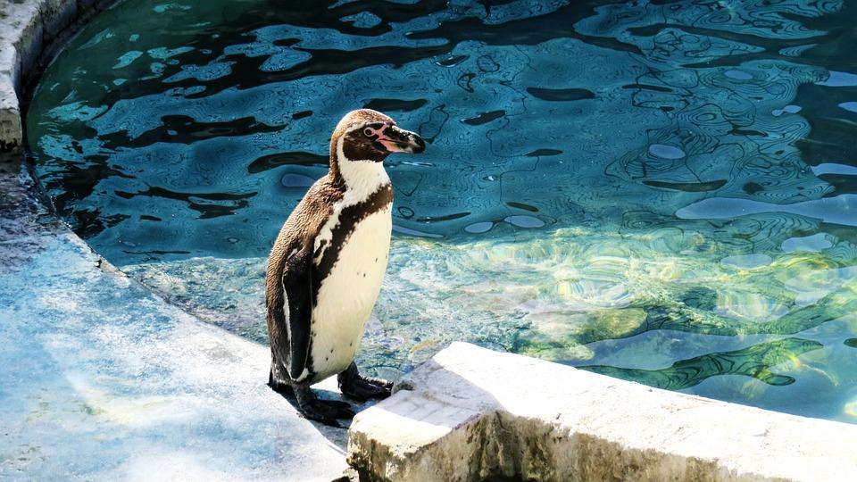 Penguin, Humboldt Penguin, Beautiful, Animals, Pond