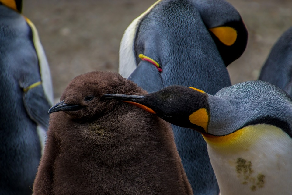 Emperor Penguin, Penguin, Young Penguin, Baby, Parents