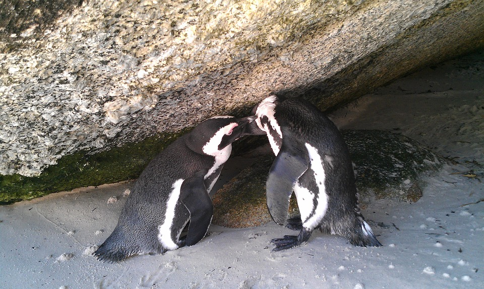 South Africa, Boulders Beach, Penguin, Holiday, Birds