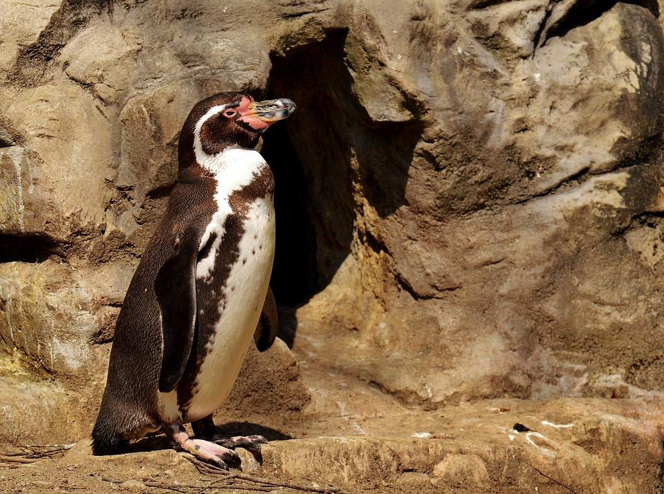 Penguin, Animal, Animal World, Water Bird, Bill, Water