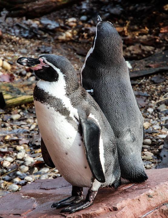 Penguins, Birds, Animal, Water Bird, Zoo