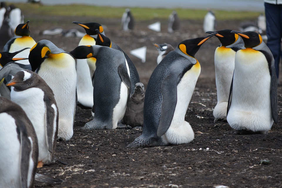Penguins, Falkland Islands, Nest, Island, Chicks, Wild
