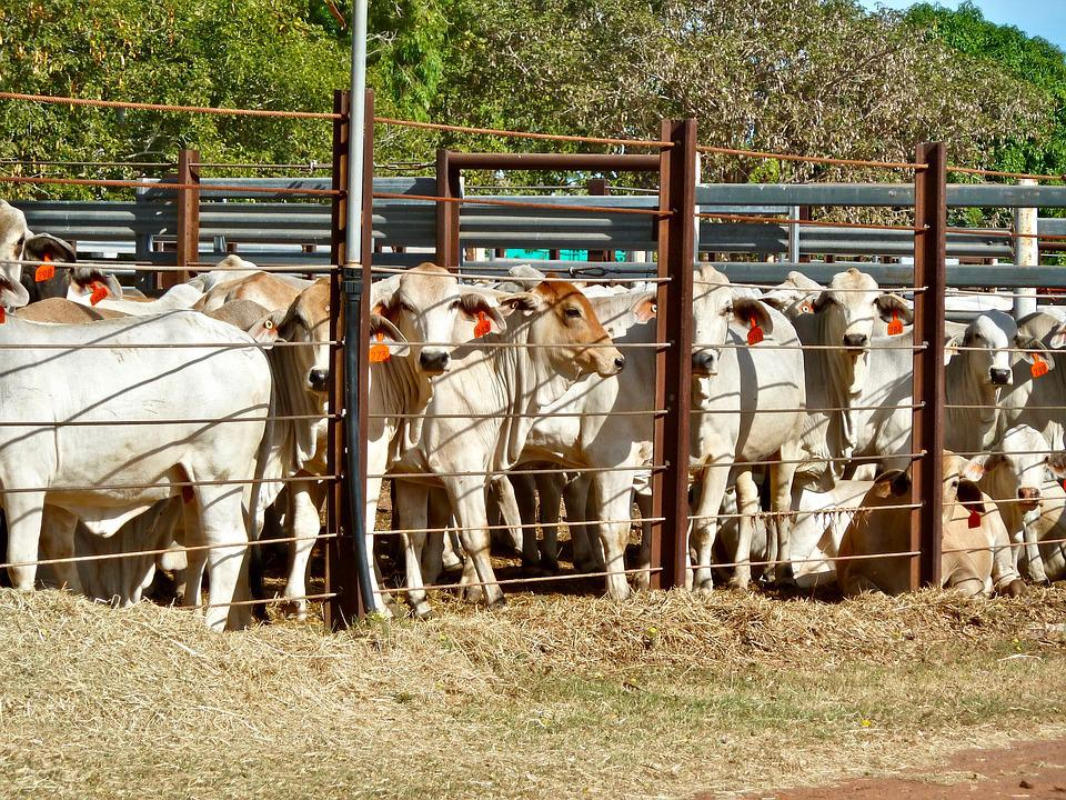 Cattle, Enclosure, Penned, Export, Agriculture