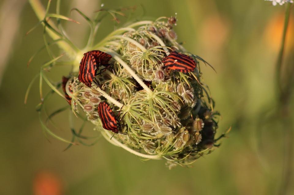 Shield Bugs, Pentatomoidea, Graphosoma Lineatum