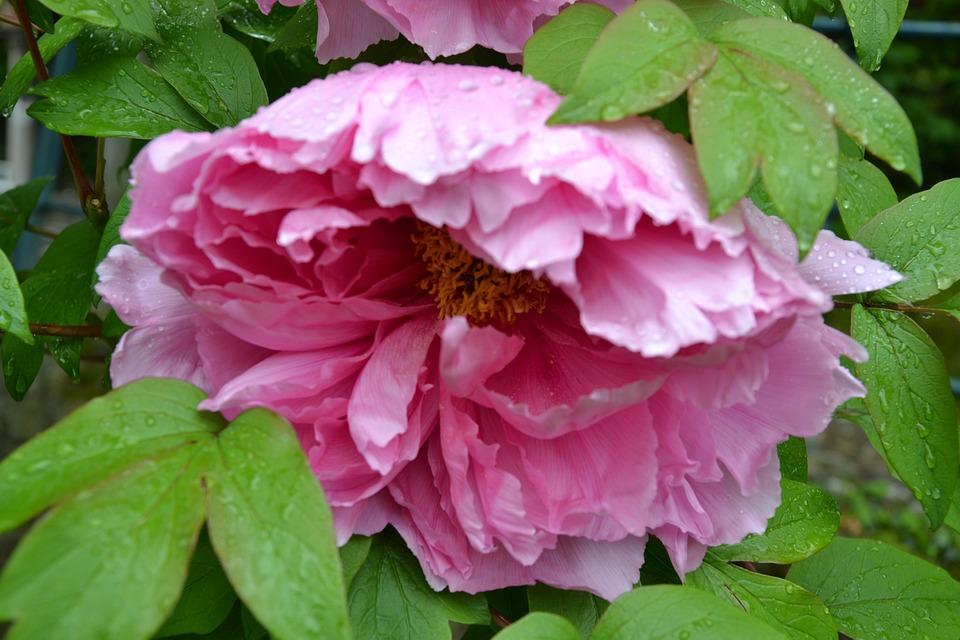 Peony, Rose, Flower, Blossom, Bloom