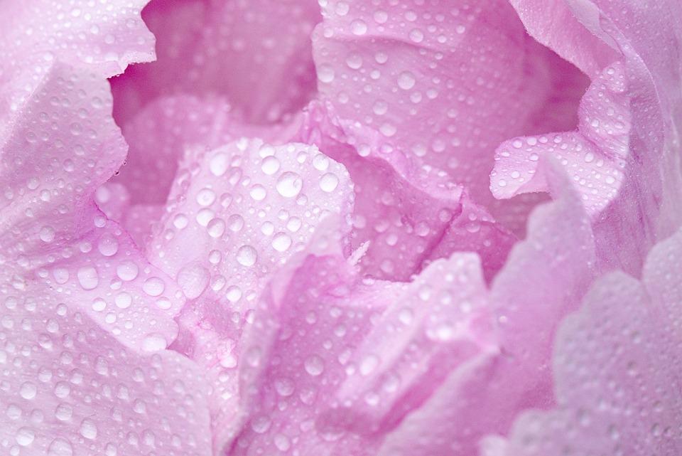 Pink, Peony, Macro, Blossom, Bloom, Droplets, Petal