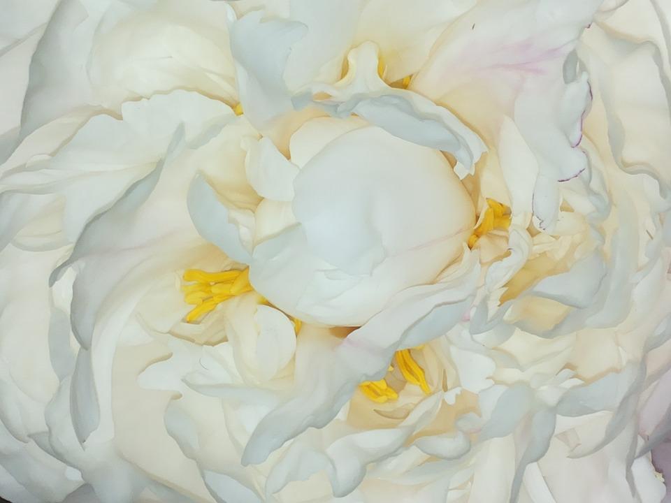 Roses, Peony, Flower, Heart, White Flower, Button