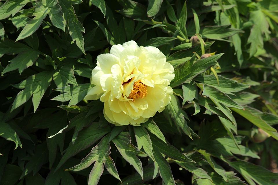 Free photo peony flowers tree peony yellow bright bloom max pixel peony flowers tree peony bright yellow bloom mightylinksfo