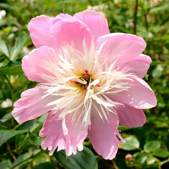 Peony, Flower Garden, Blossom, Bloom, Nature, Garden