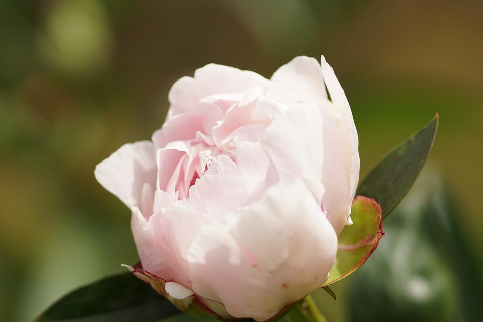 Peony, Pink, Blossom, Bloom, Nature, Garden, Close