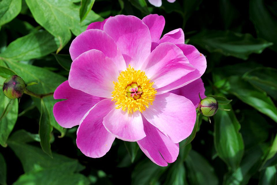 Flower, Meadow, Nature, Peony, Pink, Spring, Blossom