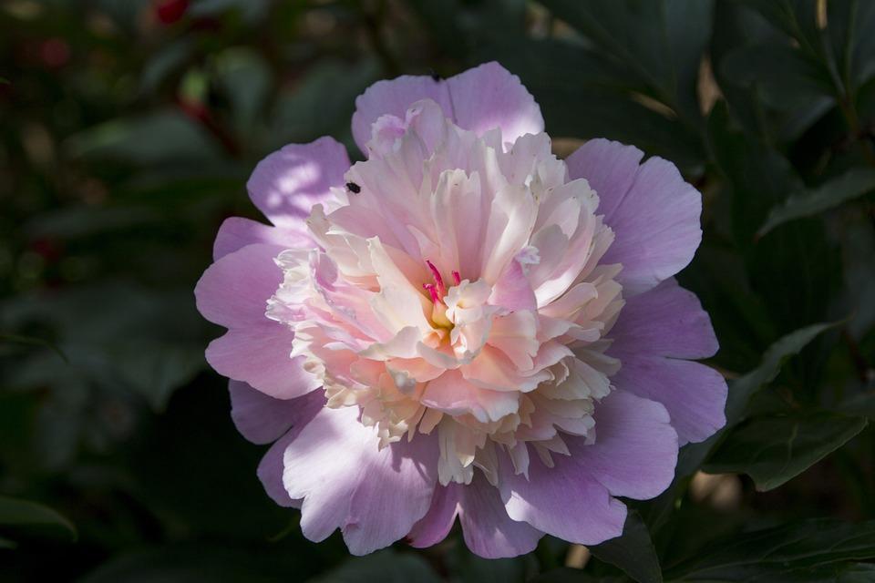 Peony, Flower, Blossom, Bloom, Nature, Garden, Plant