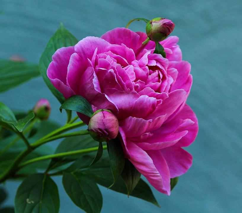 Peony, Flower, Perennial, Blossom, Pink, Fuchsia