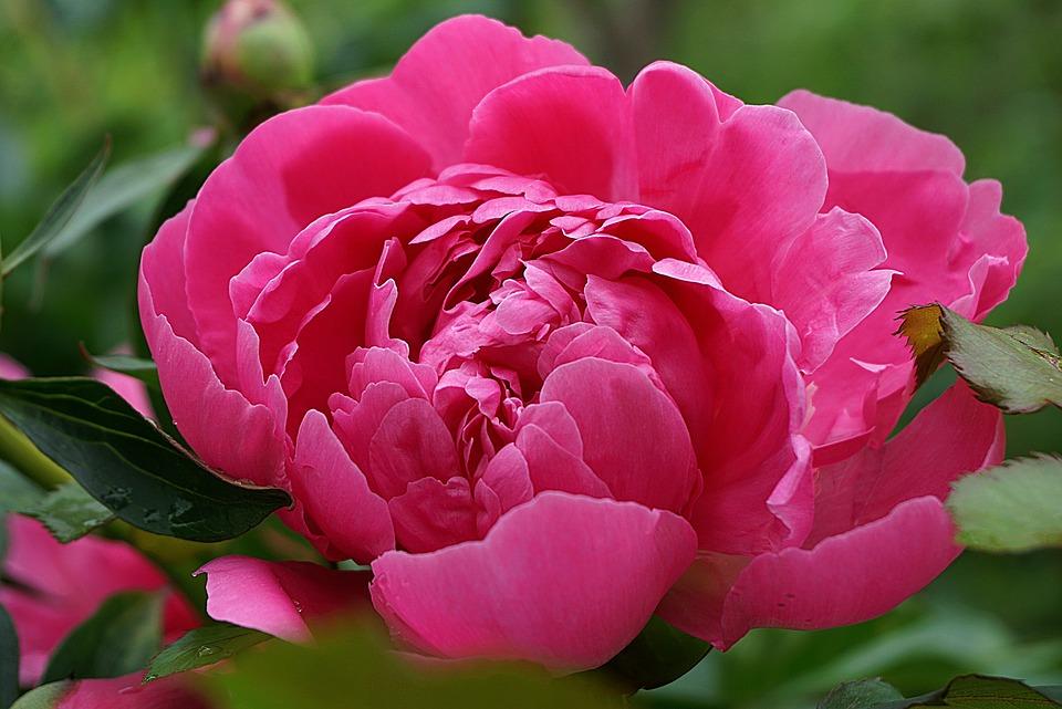 Peony, Flower, Pink, Petals, Pink Flower, Pink Petals