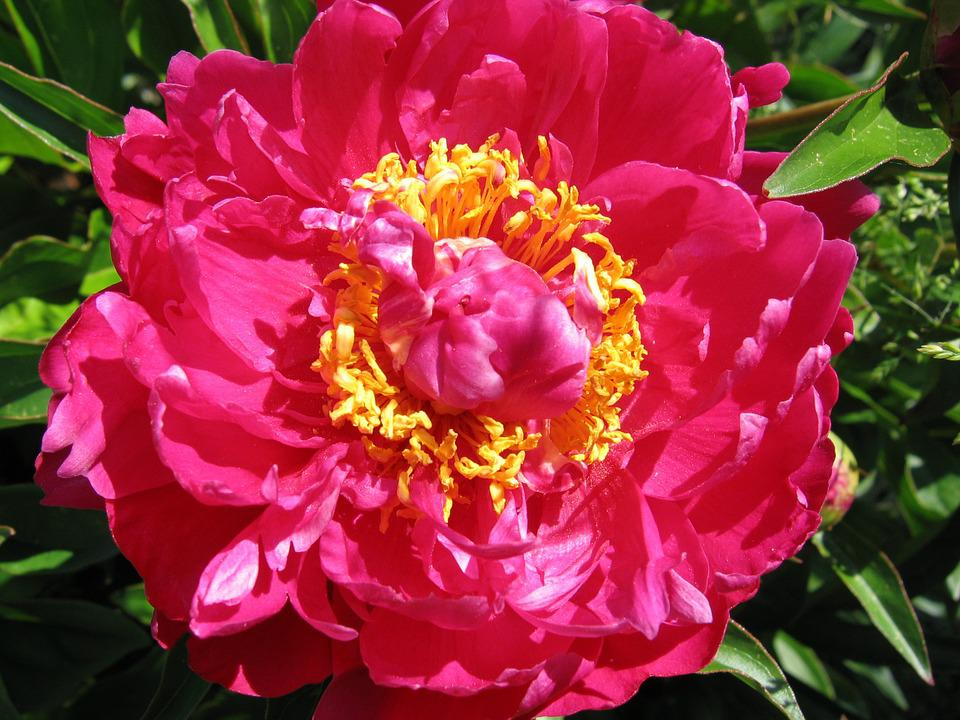 Peony, Red, Blossomed, Stamens, Blossom, Bloom, Flower