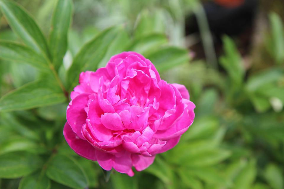Peony, Peony Rose, Flowering, Garden, Blossomed