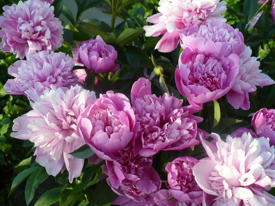 Spring, Peony, Purple Flower