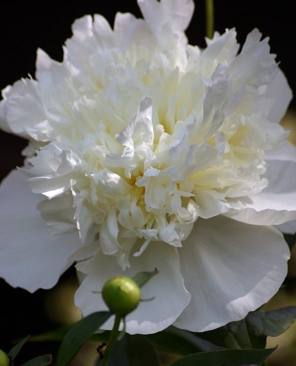 Free photo peony white flower summer bloom single spring max pixel flower peony bloom spring summer single white mightylinksfo