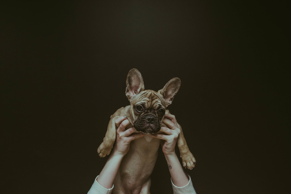 Dog, Puppy, Animal, Hands, Owner, People, Ears
