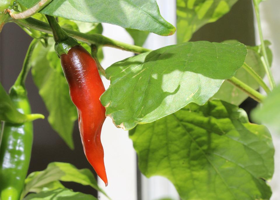 Pepper, Green, Red, Plant, Nature