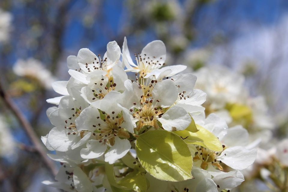 Flower, Nature, Plant, Branch, Tree, Peral, Flowering